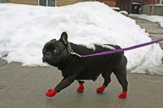 """""""Don't you dare take my picture wearing these Booties!"""", embarrassed French Bulldog ❤️"""