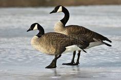 Un par de Canadá están en perfil en un lago congelado Foto de archivo - 17716074