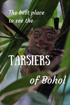 The best place to see the tarsiers of Bohol, in the Philippines Nocturnal Animals, Bohol, Tourist Trap, Wild Life, Exotic Pets, Southeast Asia, Night Life, Habitats, Places To See