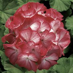 Check out the deal on Geranium Ringo 2000 Scarlet Star 10 seeds at Hazzard's Home Gardener Star Patterns, Geraniums, Scarlet, Seeds, Rose, Flowers, Plants, Check, Color