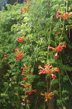 PILUS GIARDINIERE - bignonia flowers in august