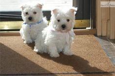 westie puppies for sale mn