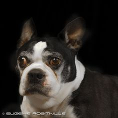 #bostonterrier #dog #cute #face #old #pet #animal