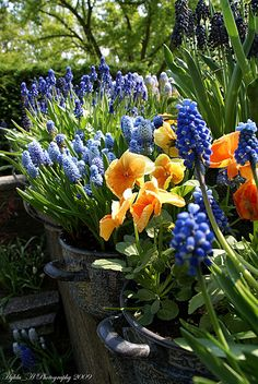 Grape hyacinths and apricot pansies