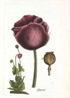Poppy ~ Botanical La Flore Des Environs De Paris