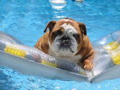 Simple Cuby Chubby Adorable Dog - f4689b14986c628e270639f237aa30ff--bull-dog-english-bulldogs  HD_415215  .jpg