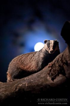 Moonlit Badger by Richard Costin - Photo 2427198 - Beautiful Creatures, Animals Beautiful, Cute Animals, Badger Tattoo, Nocturnal Animals, Honey Badger, Mundo Animal, Woodland Creatures, Fantastic Beasts