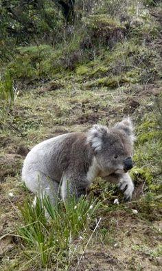 Oh oh I'm lost? Alaskan Brown Bear, Koala Marsupial, Baby Koala, Koala Bears, The Wombats, Australia Animals, All About Animals, Majestic Animals, Cute Funny Animals