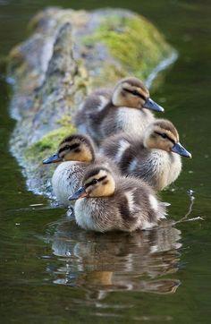 city wildlife, ducklings