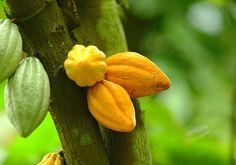 Planta de cacao,,, COSTA RICA.