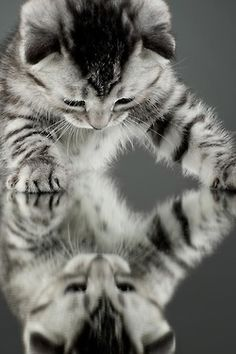 tabby cat mirror image grey & white markings