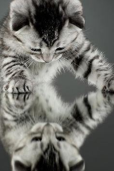 tabby cat mirror image grey & white markings