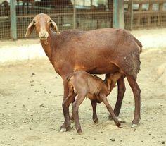 செம்மறி ஆடு வளர்ப்பும் பயன்களும் | பண்ணையார் தோட்டம் Blog Images, Horses, Animals, Animales, Animaux, Animal, Animais, Horse