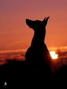 The gorgeous and always elegant silhouette of the Doberman Pinscher, the breed that will forever own my heart and be part of my soul.