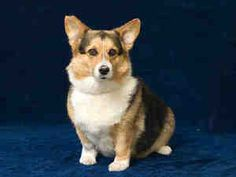 Bijou is an adoptable Welsh Corgi Dog in Lomita, CA. This is a purebred tricolor Pembroke Welsh Corgi spayed 6 year old female. She was rescued along with her family companion (Sooner) from a man who ...