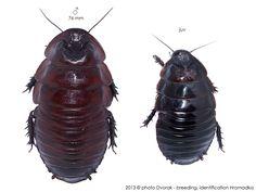 Macropanesthia rhinoceros Roaches, Rhinoceros, Forensics, Children, Life, Animals, Caterpillar, Insects, Young Children