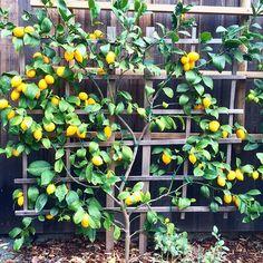 First harvest. I see preserved lemons in my 2016. #meyerlemons #espalier…
