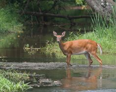 Photo by Juli Wells. Pretty Pics, Pretty Pictures, Whitetail Deer Pictures, Deer Crossing, Serenity Now, Anatole France, Inspirational Quotes Pictures, Christmas Deer, Pictures To Draw