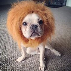 """""""The Frenchie Lion"""" Wait guys, don't run!! I'm only here for the candies!!  by fahfung http://instagr.am/p/RVHX95TgjZ/"""