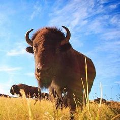 Custer State Park's annual Buffalo Roundup in late September is one of the highlights of a fall trip to the Black Hills! More about our fall getaway: http://www.midwestliving.com/travel/south-dakota/black-hills/striking-gold-a-fall-trip-to-south-dakotas-black-hills/