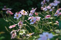 Pink Japanese Anemones in the setting sun this September. This is one of the flowers that I can't wait to see each fall! And they improve in size and bloom every year.