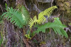 This week's Friday Foto comes from the Big Island's Volcanos National Park, where we went to Thurston Lava Tube and came across this fern growing in a most unlikely place — a tree stump!  http://terryambrose.com/2018/05/ferns-growing/