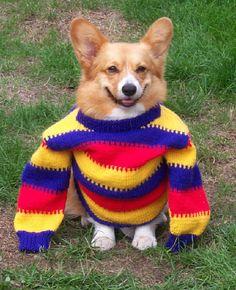 Corgi in a #knit sweater