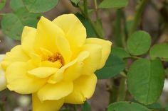 대전 한밭 수목원 노란 장미  yellow rose
