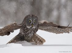 Photograph Snowboarding Great Gray Owl by Axel Hildebrandt on 500px