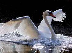 Wings - beauty, swan, water, white, wings