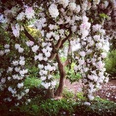 Rhododendron halopeanum, aux fleurs énormes !