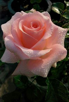 You can almost smell the fragrance of this most beautiful rose...