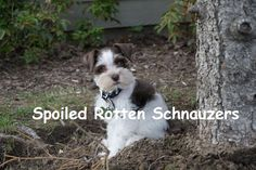 chocolate parti teacup | toy mini schnauzer puppies. photo taken by spoiled rotten schnauzers.