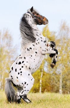 2) Friesian/Appaloosa Crossbreed - This is Mystic Warrior, a demo horse at the World Equestrian Games. Quite the fitting name!
