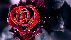 Red And Black Rose Wallpapers 26 Cool Hd Wallpaper. Red And Black Rose Wallpapers 26 Cool Hd Wallpaper Red Flower Wallpaper, Background Hd Wallpaper, Widescreen Wallpaper, Wallpaper Pictures, Wallpaper Wallpapers, Rose Images, Rose Pictures, Dark Images, Dark Pictures