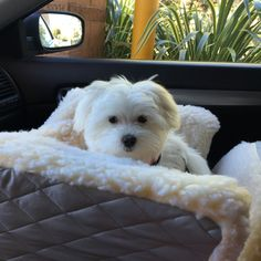 Cozy dog car seat for Penny Lane the Maltese puppy.