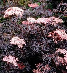 Black Lace Elderberry - Stunning plant for any garden