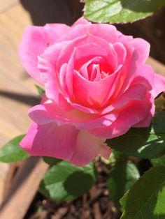 Patio rose June 2014