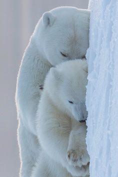 Cuddling polar bears<3