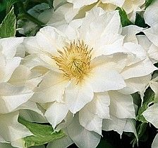 Monty Don: Clematis, the star of the season