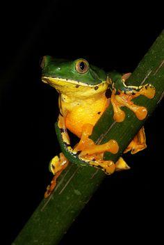 Gray-Eyed Tree Frog (Cruziohyla calcarifer) #frog #amphibian #nature