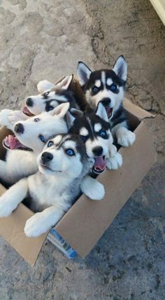 Box 'o huskies