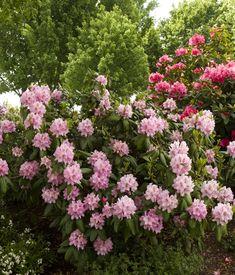 Scintillation Rhododendron - Monrovia - Scintillation Rhododendron