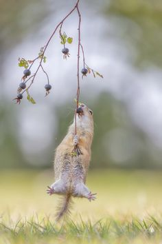 A European ground squirrel does everything to get at some rose hips