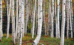Silver Birch - Bing images
