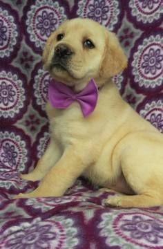 Labrador Retriever Puppy For Sale In Lancaster Pa Adn 71905 On
