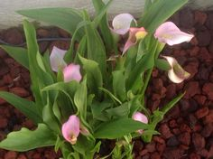 Pink calla Lilly's.