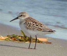 Sandpiper love these little sea birds!!