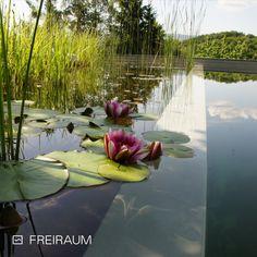 Bei der Swimming Pond Mauerbauweise 🌊 ist eine volle Raumausnutzung im Badebereich möglich. Die Pflanzenbewuchs 🌿 breitet sich durch die Abtrennung zum Schwimmbereich nicht über die gesamte Wasserfläche aus 🏊♀ #biotop #naturpool #biopool #swimmingpond #schwimmteich #naturteich #wasserimgarten #pooldesign #gartendesign #schwimmen #nochemicals #naturnah #sustainableliving #nachhaltig #ressourcenschonen #garten #outdoorliving #swimming Pond, Swimming, Sustainability, Plants, Nice Asses, Swim, Water Pond, Garden Ponds