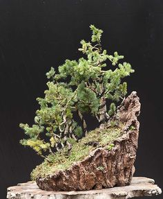 These are European spruce bonsai forest, Picea abies. The forest is in a special mountain pot made for it.